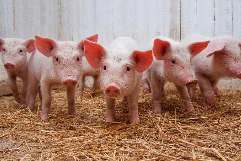 Свиноводство как отрасль животноводства