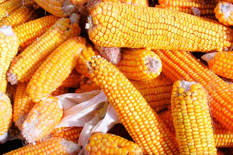 Основным лидером экспорта Украины стала кукуруза