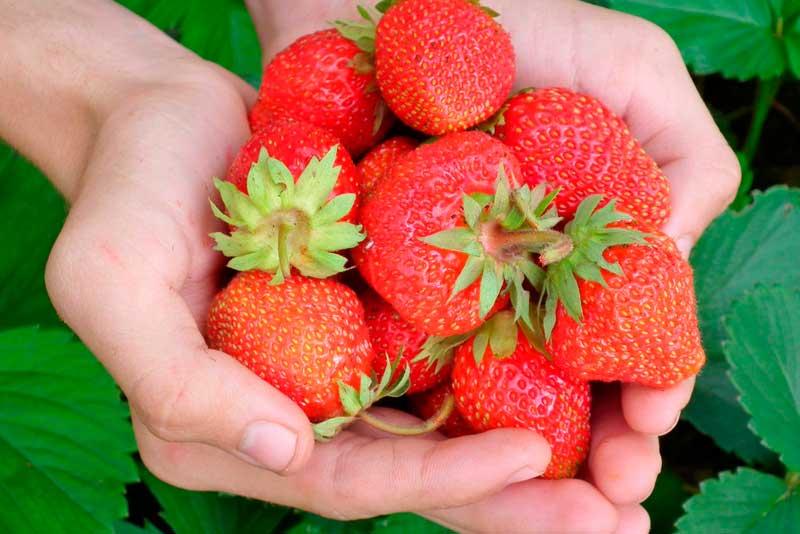 Сорта клубники подходящие для выращивания по голландской технологии