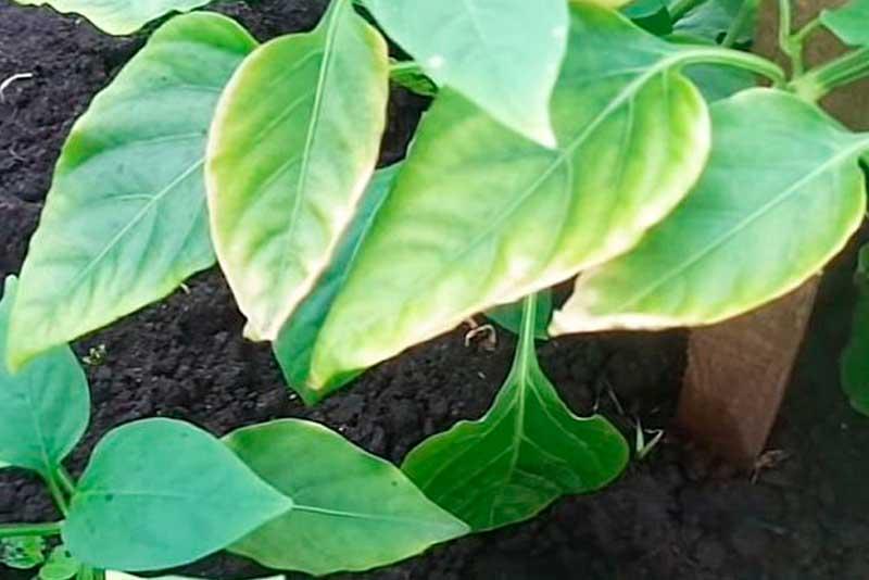 Если у перца побелели листья: основные причины