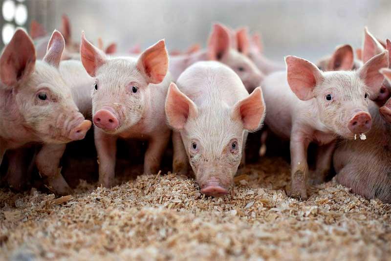 Как заработать на свиньях