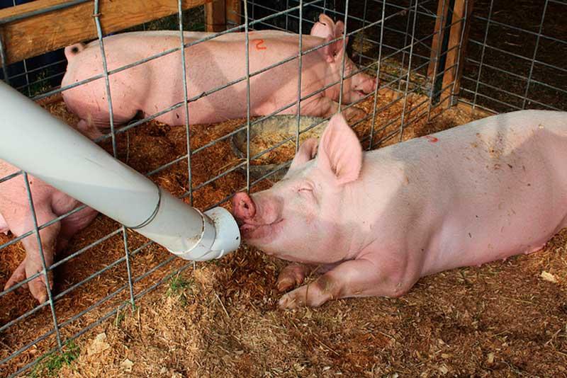 Кормление свиней – зерновые злаковые