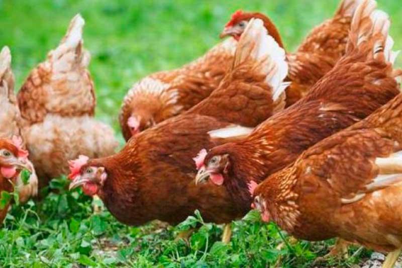 Требования к органическому птицеводству