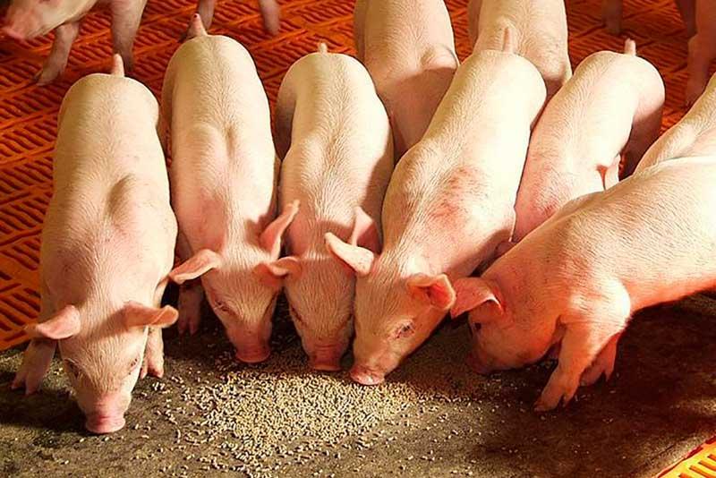 Зернобобовые корма и отруби в рационе свиней