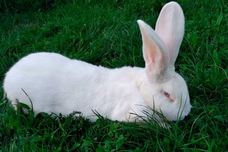 Порода кролика — белый великан