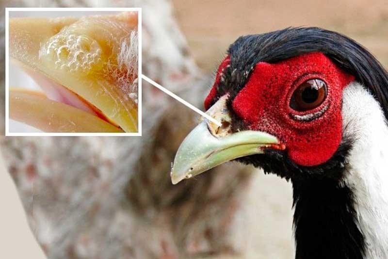 Инфекционные болезни фазанов