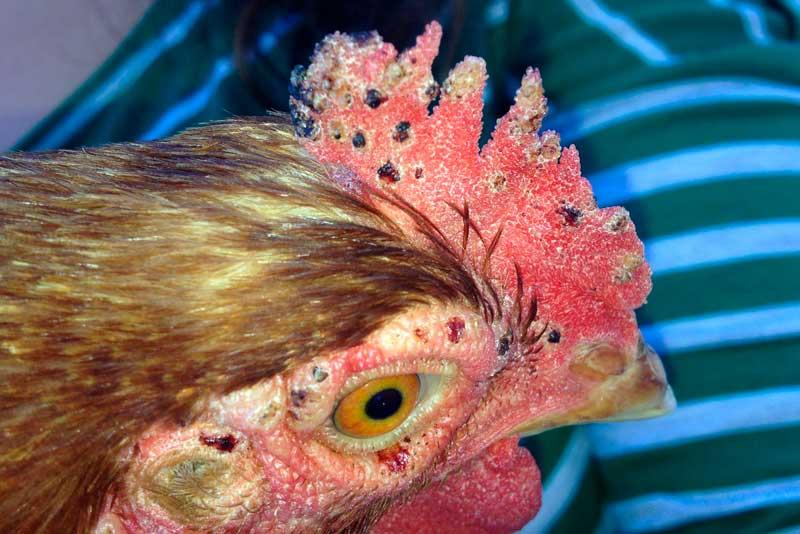 Красный куриный клещ у птицы