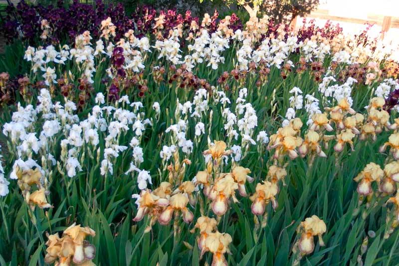 Ирисы: выращивание, уход и средства борьбы с вредителями